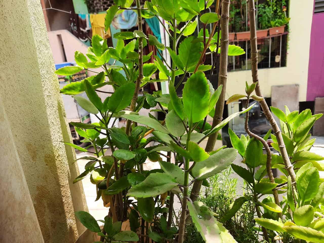 पानफुटी वनस्पतीचे फायदे आणि मराठी माहिती | panphuti plant uses in marathi