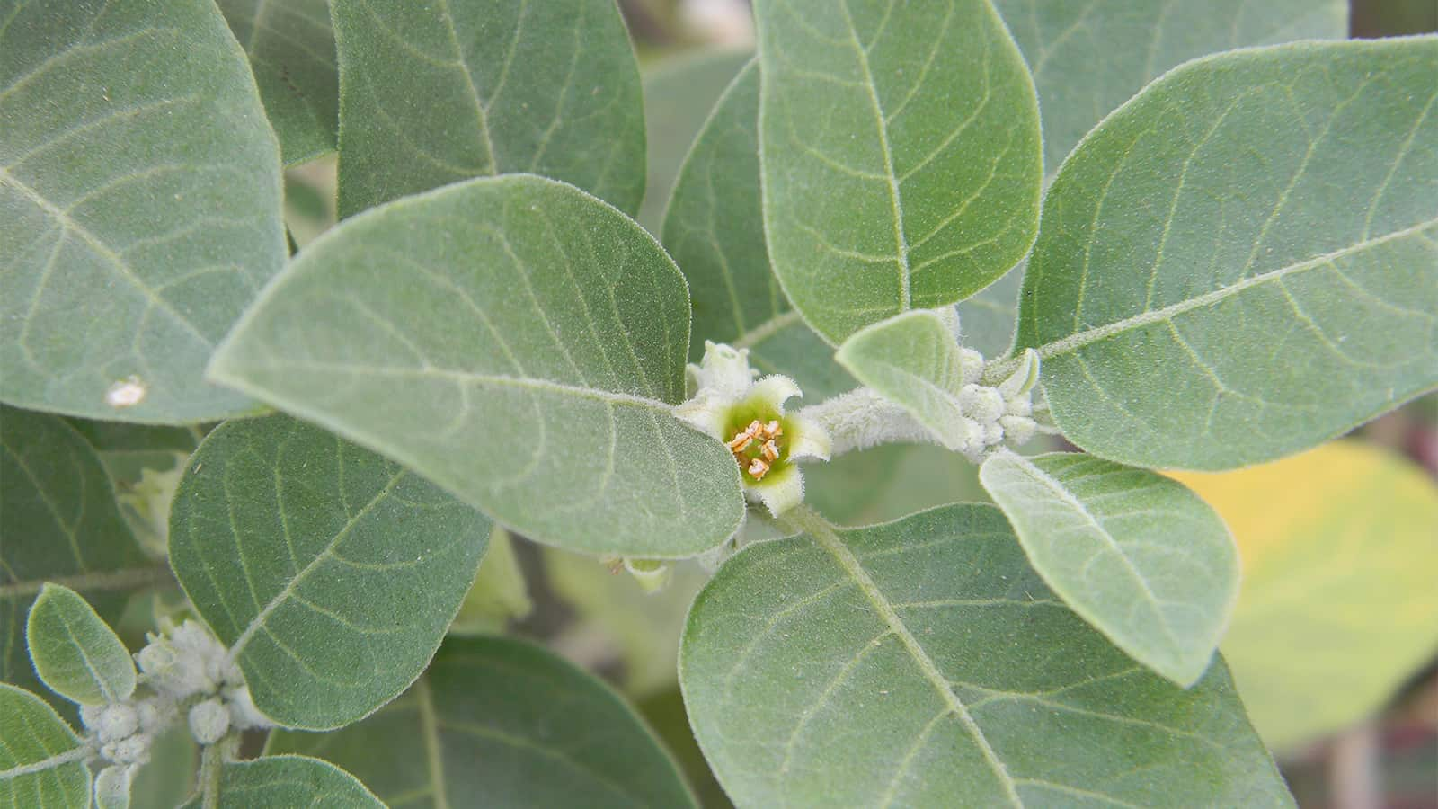अश्वगंधा वनस्पती चे फायदे व मराठी माहिती | ashwagandha benefits in marathi